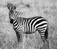 """""""Zebra"""" će zamijeniti """"jednorogov"""" poslovni model za start-up"""
