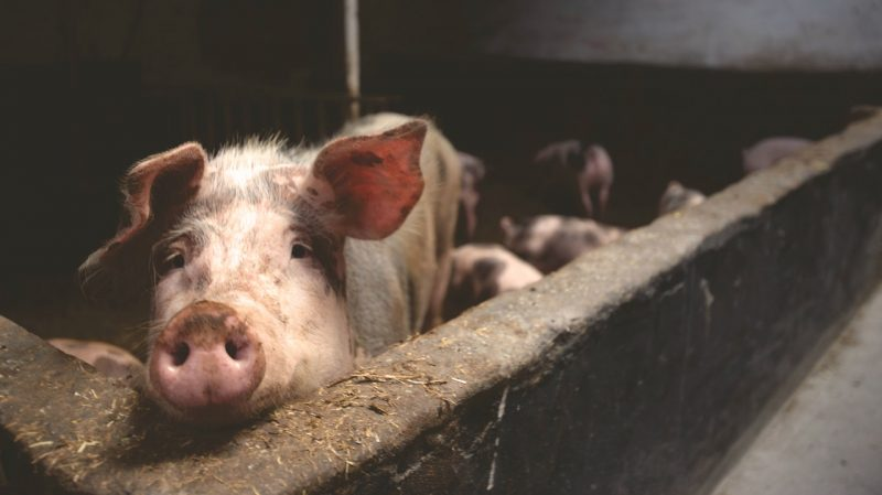 genetski modificirane svinje